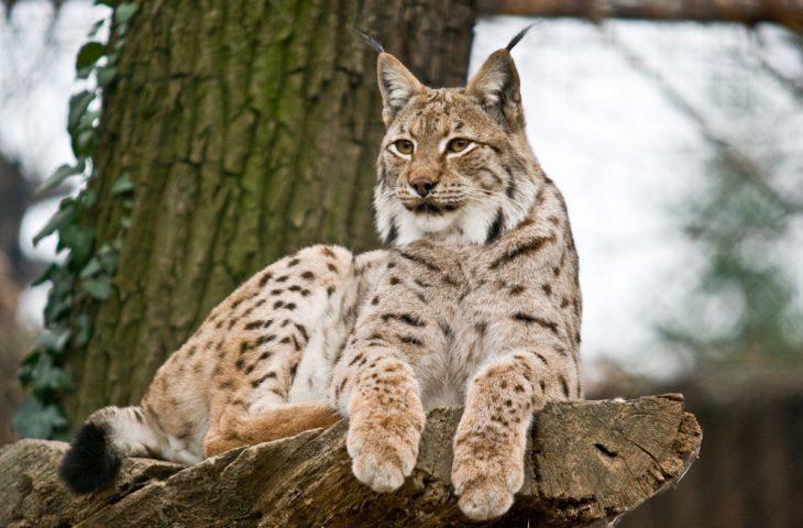 Photo of LIFE Lynx projekt poziva na predavanje o važnosti i zaštiti risa u Hrvatskoj