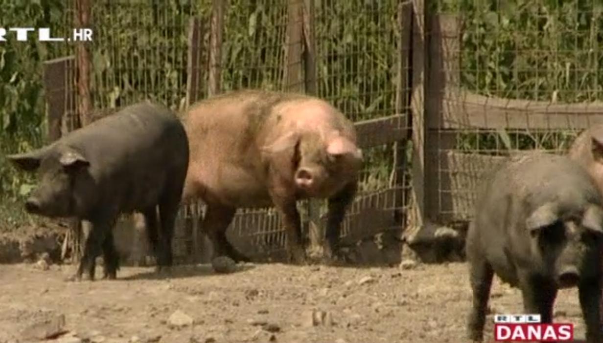 Photo of VIDEO Poljoprivrednici strahuju da je s kolinjem gotovo