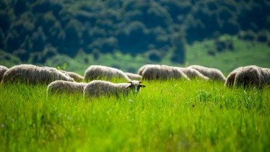 Photo of Udar groma je usmrtio cijelo stado ovaca, dobri ljudi će Đuri nabaviti novo