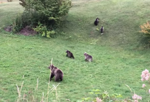 Photo of PREKRASAN PRIZOR Na Velebitu snimljena mama medvjedica s mladuncima