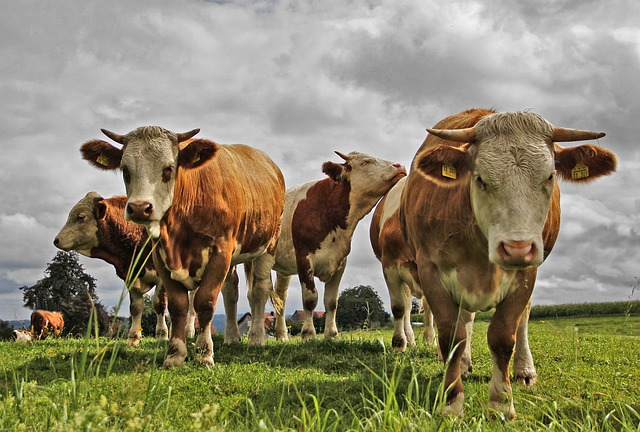 Photo of Glavni krivci za uništenu atmosferu su – krave
