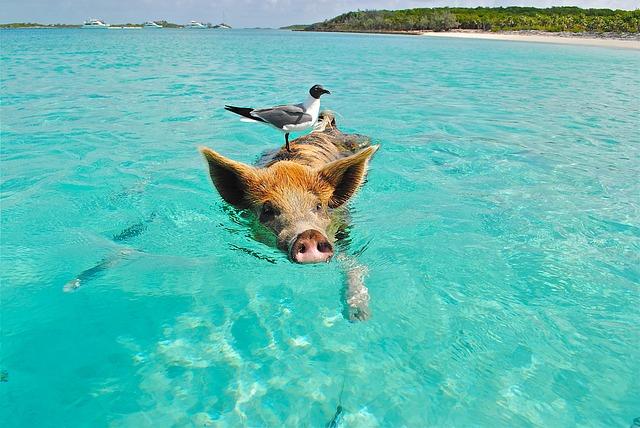 Photo of Raj za svinje postoji, a nalazi se na Bahamima