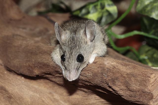 Photo of Znanstvenici stvorili superinteligentnog miša