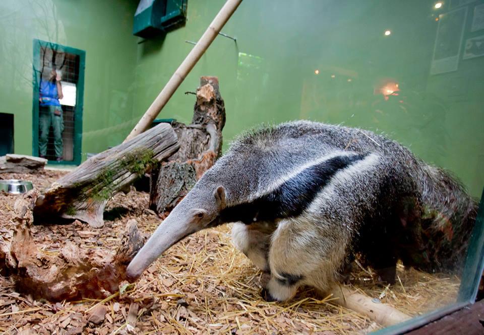 Photo of Mravojed iz zagrebačkog zoološkog vrta traži ime, imate li prijedlog?