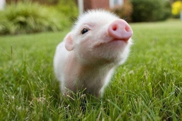 Photo of GMO svinje koje ostaje male i slatke
