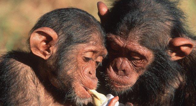 Photo of Čimpanze se brinu za hendikepirane mladunce