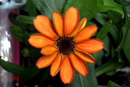 Photo of Na Međunarodnoj svemirskoj postaji procvjetao je prvi cvijet