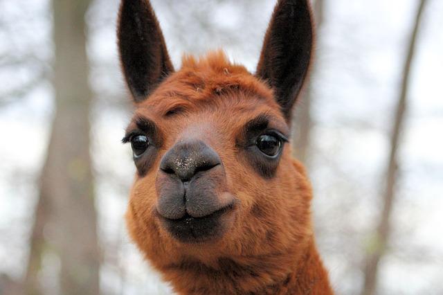 Photo of Mala alpaka iz zagrebačkog Zoološkog vrta traži ime!