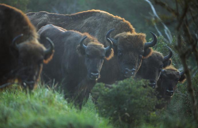 Photo of Rewilding Europe: Hrvatskom će šetati izumrle životinje?