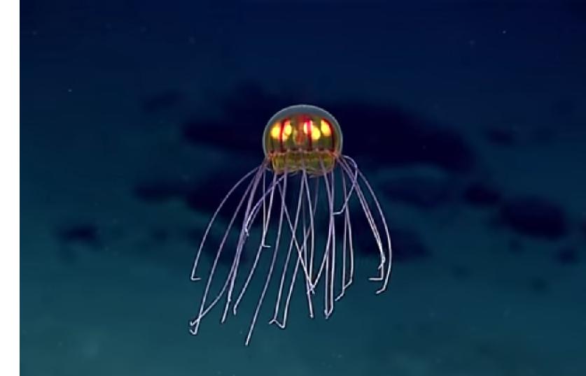 Photo of Fascinantna snimka iz dubine: U Marijanskoj brazdi otkrivena nova vrsta meduze