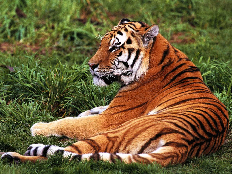 Photo of WWF: Nakon godina padanja, broj tigrova u porastu