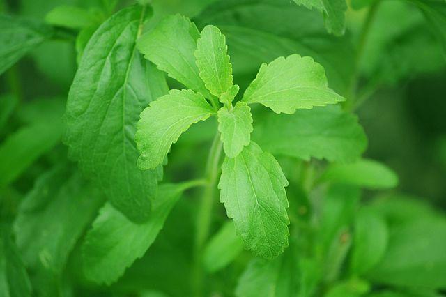 Photo of Stevija je biljka bez kalorija koja je 300 puta slađa od šećera