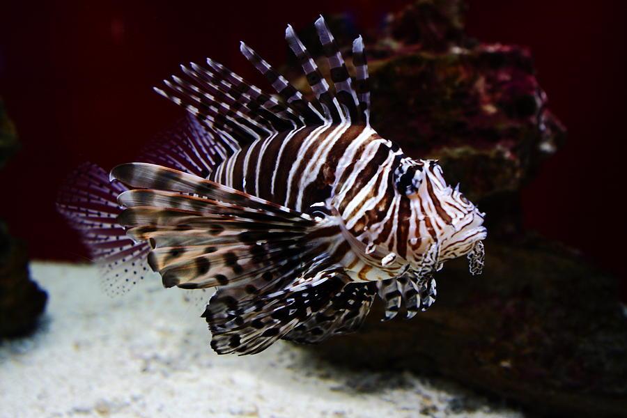 Photo of Mediteranom se širi riba lav koja bi mogla biti pogubna