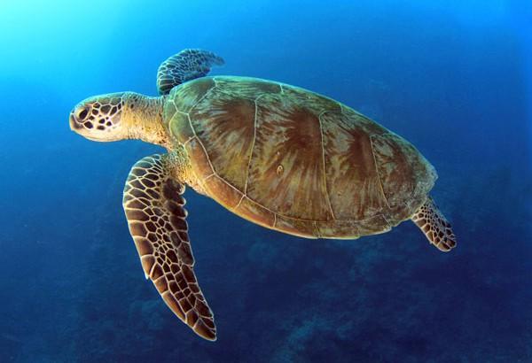Photo of Podvodna kamera kod Šibenika uhvatila rijetku vrstu kornjače!