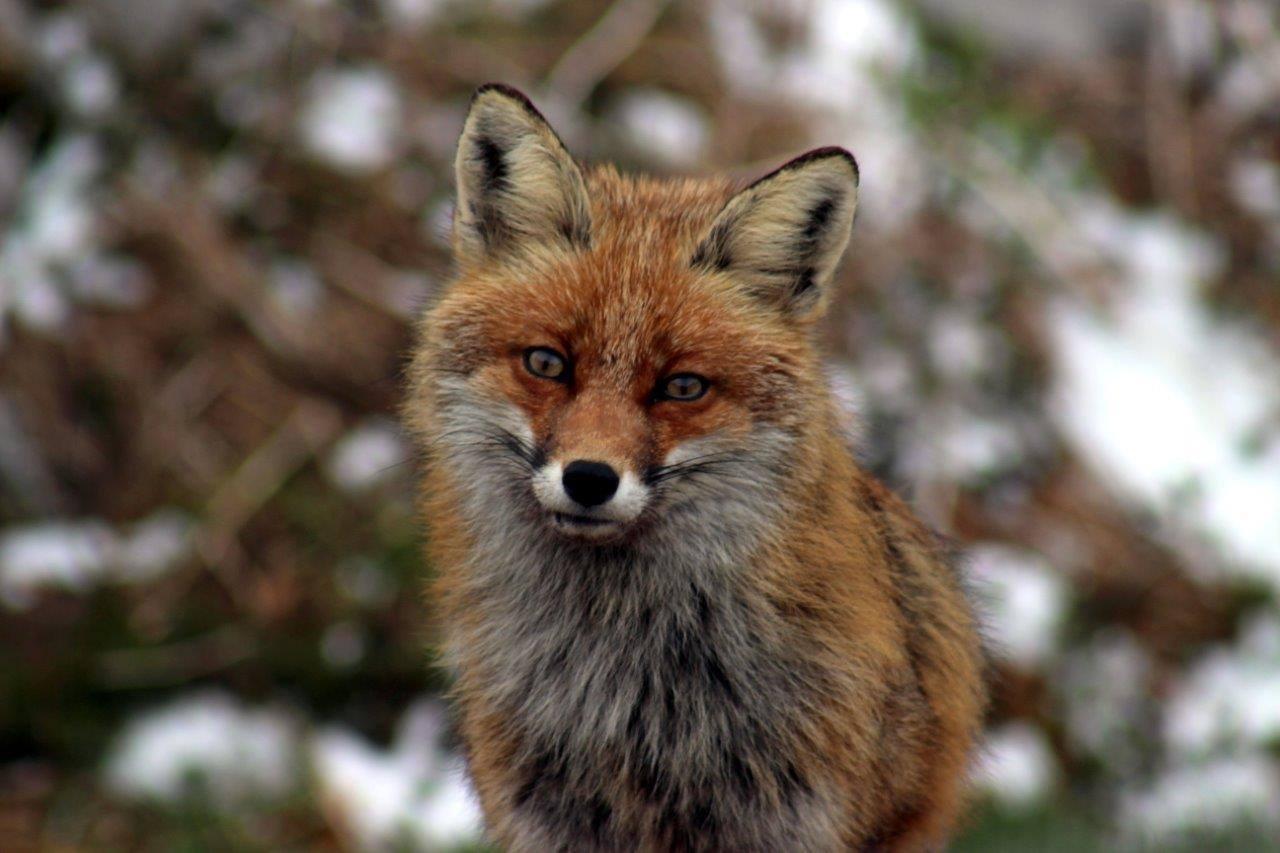 Photo of Velebitska lisica uhvaćena kamerom u Nacionalnom Parku Sjeverni Velebit