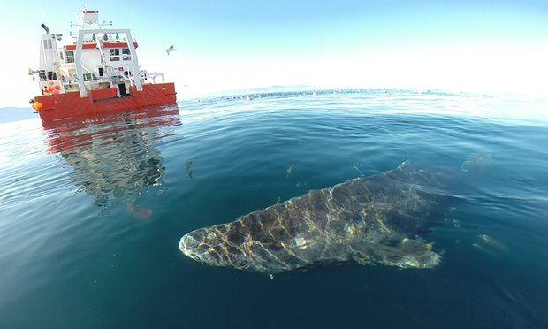 Photo of Grenlandski morski psi: Starosni rekorderi od čak 400 godina