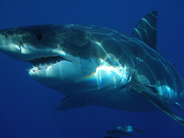 Photo of Opasna psina viđena u Trstu, prijete li morski psi i našoj strani Jadrana?