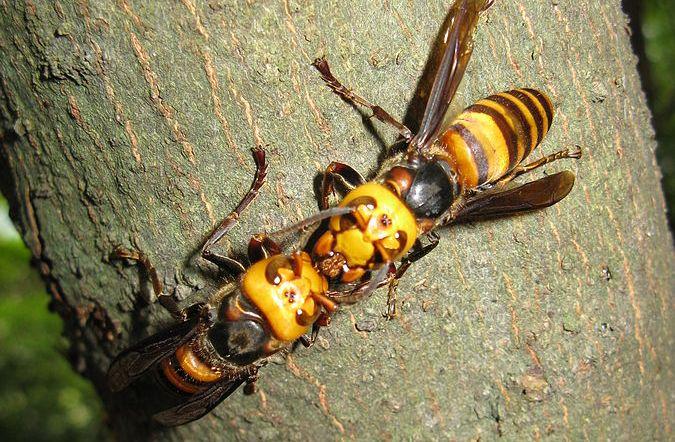 Photo of Kukci opasni po život: Najezda azijskog stršljena u Slavoniji i Baranji