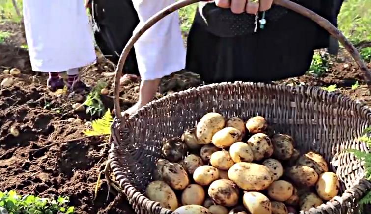 """Photo of U jednoj ličkoj općini ovog vikenda bira se """"NAJSEXY"""" krumpir!"""