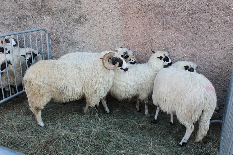 Photo of 17. Izložba hrvatskih ovčjih i kozjih sireva u Novalji