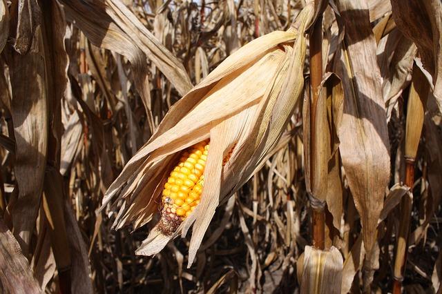Photo of Biljačina ili komušanje kukuruza