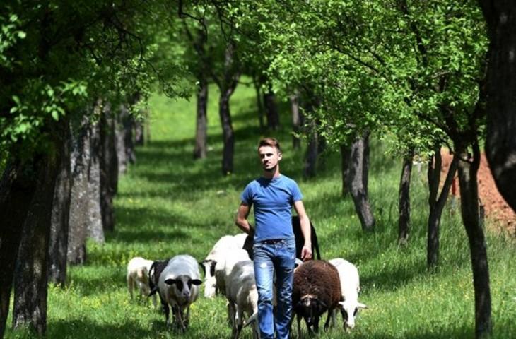 Photo of Lički farmer na mukama: Jedna cura mora otići !