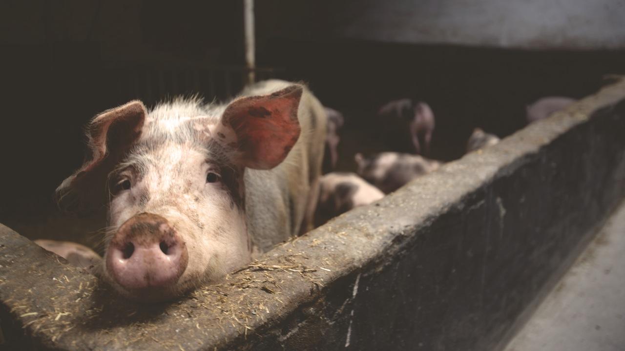 Photo of Sezona kolinja: Zašto je važno analizirati meso na trihinelozu?
