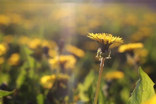 Photo of Maslačak: Jedna od najljekovitijih biljaka naših krajeva