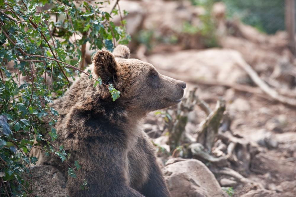 Photo of GOSPIĆ Fotografija ubijenog medvjeda otkriva poražavajuću istinu