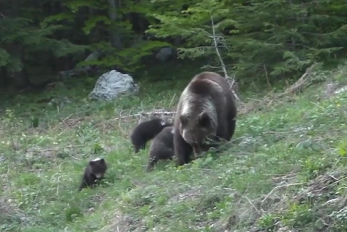 Photo of VIDEO Obitelj medvjeda doručkuje na obroncima Velebita