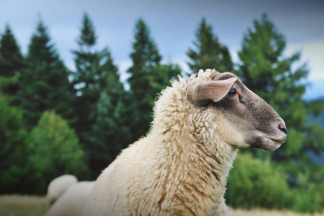 Photo of Šišanje ovaca , zanat ili umijeće?