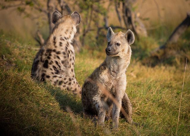 Photo of Lisice i hijene može