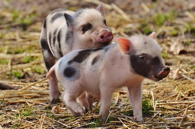 Photo of Uspješno regenerirali kožu kod svinja, sljedeći korak učiniti isto kod ljudi?