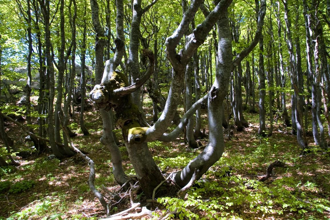 """Photo of Javor iz Sjevernog Velebita: """"Od upisa bukovih šuma na listu UNESCO-a velike će koristi imati i lokalna zajednica"""""""