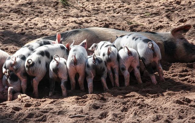 Photo of Transplantacija svinjskih organa ljudima sve nam je bliža?