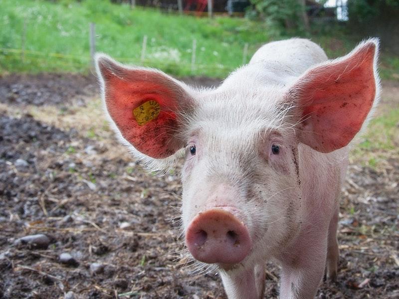 Photo of Zašto je važno analizirati svinjsko meso na trihinelu?