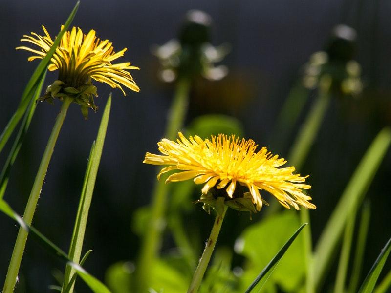 Photo of Maslačak – lijek za mnoge bolesti