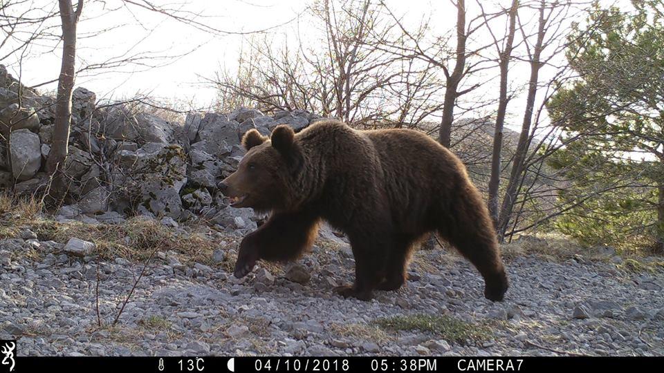 Photo of VELIČANSTVENI PRIZORI Medvjed, vuk i ris uhvaćeni u foto zamci na Velebitu!