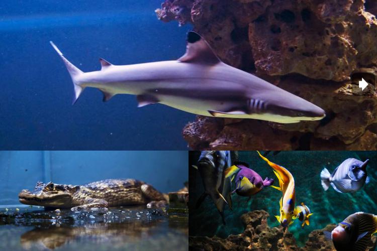 Photo of TJEDAN CRIKVENICE Jeste li znali da u Crikvenici možete vidjeti morske pse i piranje? U Aquariumu!