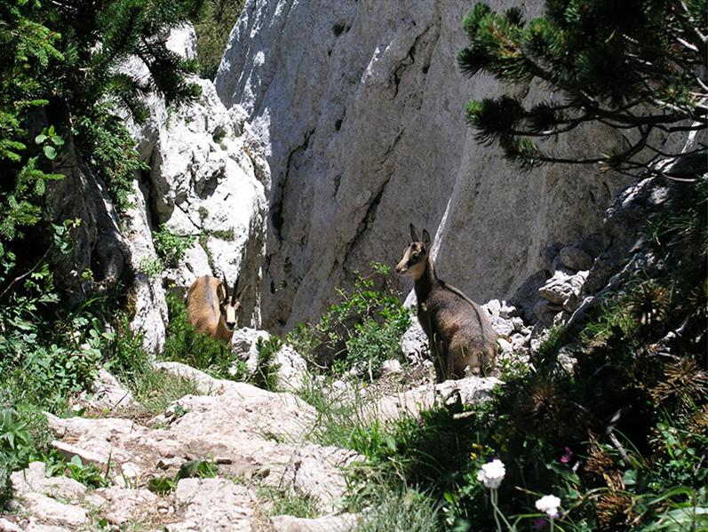 Photo of ZNANOST U SVRHU OČUVANJA VRSTE U Nacionalnom parku Sjeverni Velebit održava se radionica o divokozi u Hrvatskoj!