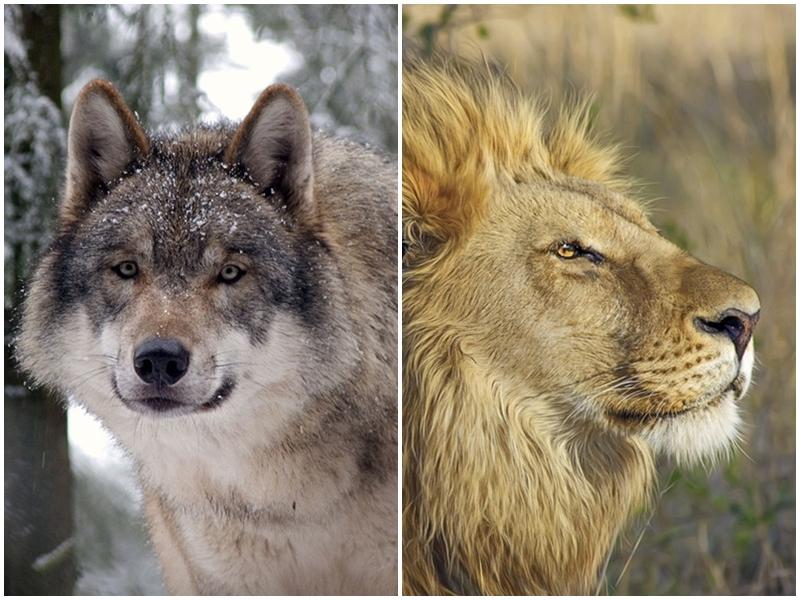 Photo of GRBOVI GRADOVA Što je prije vuka bio simbol Gospića i odakle lav na grbu Otočca?