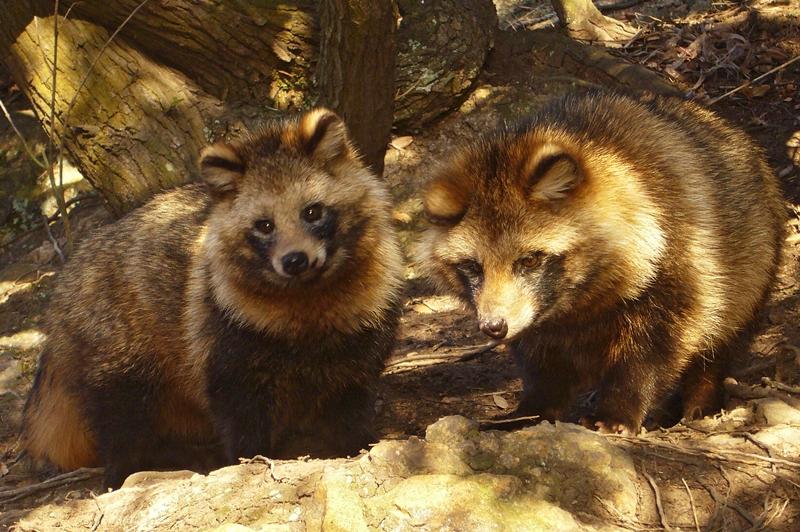 Photo of Opasne invazivne vrste: KUNOPAS viđen u dva hrvatska nacionalna parka!