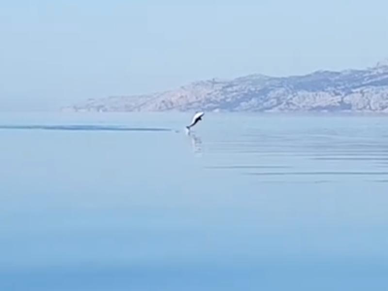 Photo of VIDEO Zaigrano jato dupina u moru kod Ribarice