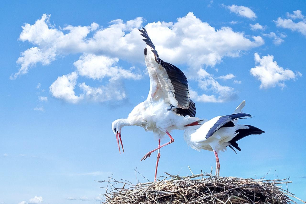Photo of Projekt zaštite i očuvanje bijele rode uspješan već desetljeće