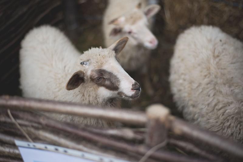 Photo of Ministarstvo poljoprivrede ukinulo 190 troškova koje su stočari do sada plaćali državi