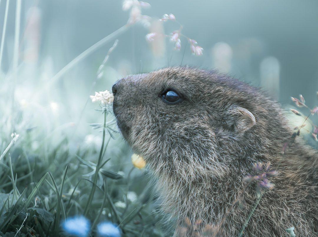 Photo of VIJEST ČITATELJA: Koja je ovo životinja? Snimio ju naš čitatelj, na Alpama!