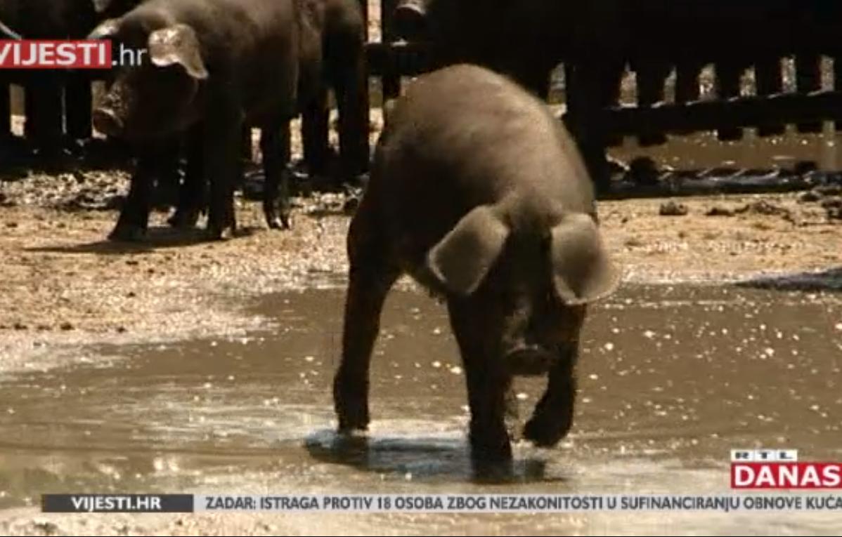 Photo of VIDEO Zašto je meso fajferice zdravije i ukusnije od obične svinjetine?