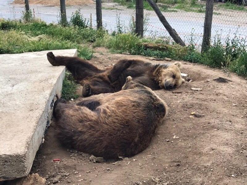 Photo of Medvjedi iz Macole bit će premješteni u Kuterevo