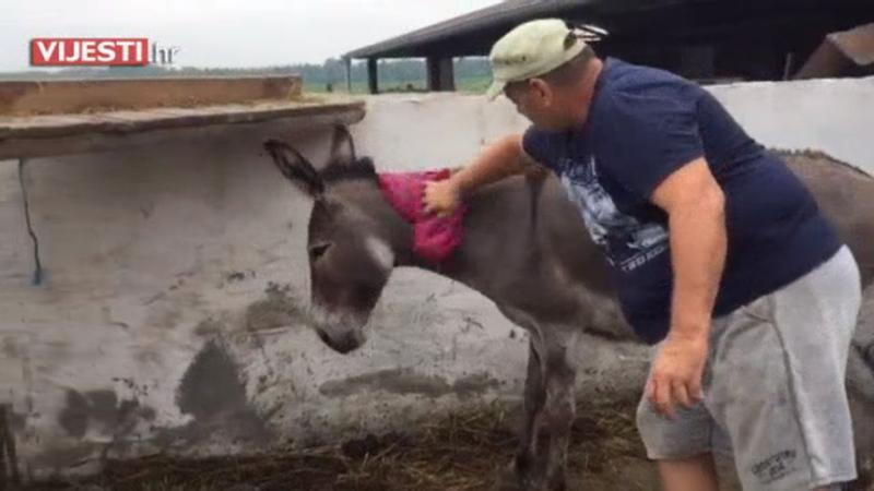 Photo of VIDEO Stočari premazuju životinje naftom kako bi ih zaštitili od komaraca