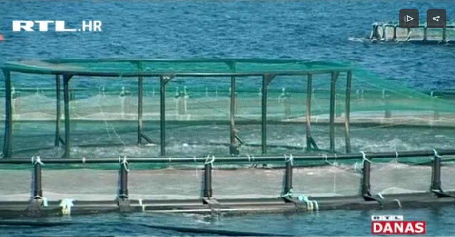 Photo of VIDEO Jedemo li domaću ribu i koliko treba da dođe do potrošača?